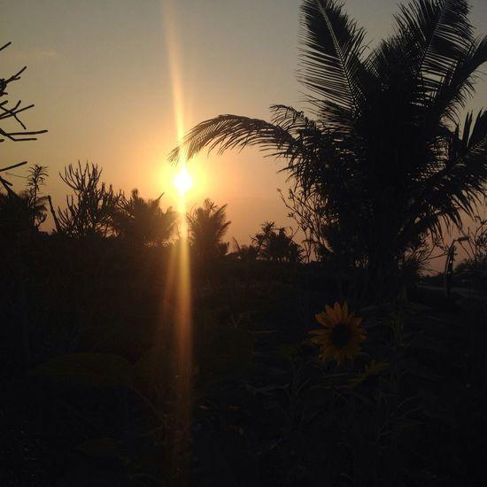 No Edit/no Filter Tadaa Community Sunshine Sunflower Sunflowers🌻 Sunset Sunset_collection Sunset Silhouettes Photography EyeEm Best Shots