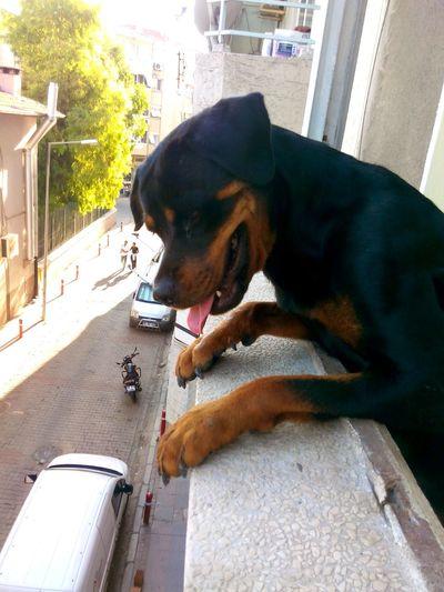 Sin  Rottie Rottweiler Dog #pet