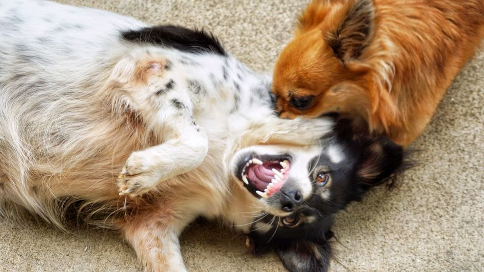 Two dogs are fighting. Mammal Bicker Angry Brawl Play Playful Eyes HEAD Face Liedown Losser Winner Sport Fighting Small Pet Animal Brown Puppy Pets Dog High Angle View Close-up Chihuahua - Dog Animal Hair