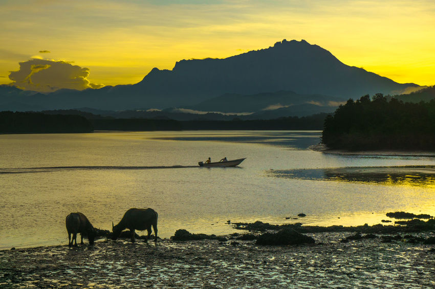 Small fishing boat & the cows with the majestic of Mountain Kinabalu sunrise in the background in Mengkabong river at Kota Kinabalu,Sabah Land Below The Wind. Akinabalu Amazing Sunrise Cows Fisherman Magnificent Malaysia Truly Asia Mengkabong River Mountain Kinabalu Sunrise
