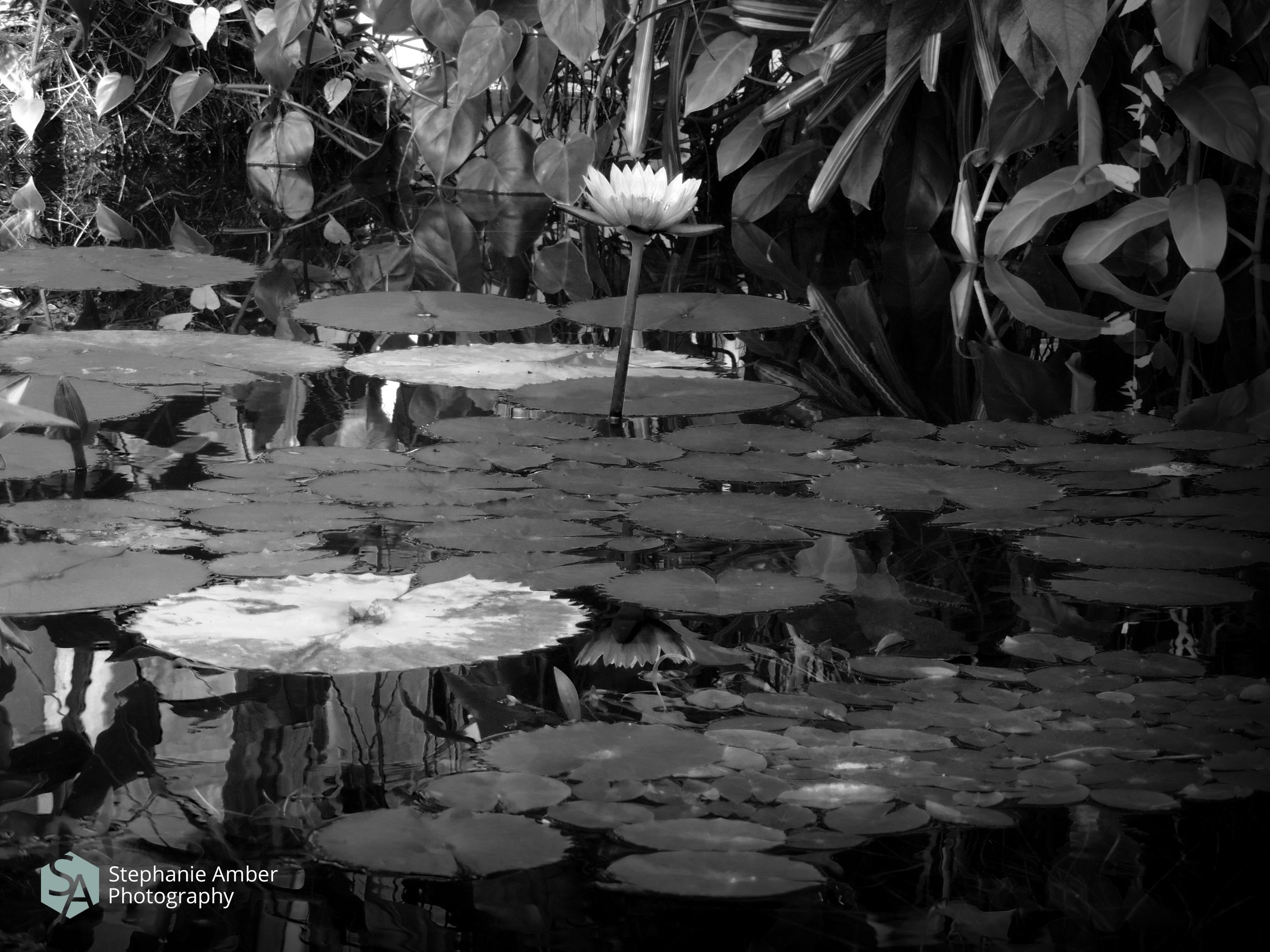 flower, flowering plant, water, plant, vulnerability, beauty in nature, growth, fragility, lake, nature, leaf, water lily, plant part, day, freshness, petal, floating, close-up, floating on water, no people, flower head, outdoors, lotus water lily