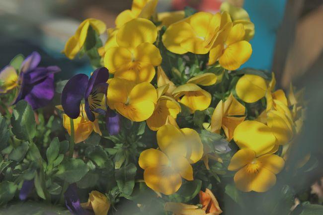 Flowers Beautiful Nature Flowerlovers EyeEm Flower Flowers,Plants & Garden 花と庭 Yellow Flowers 桜が咲いたよ🌸まだ撮りに行けてない📷😓