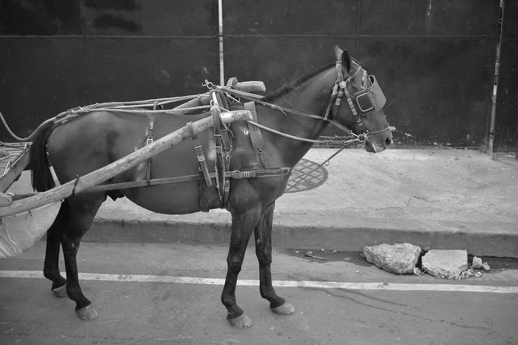Horse wearing carriage bridle