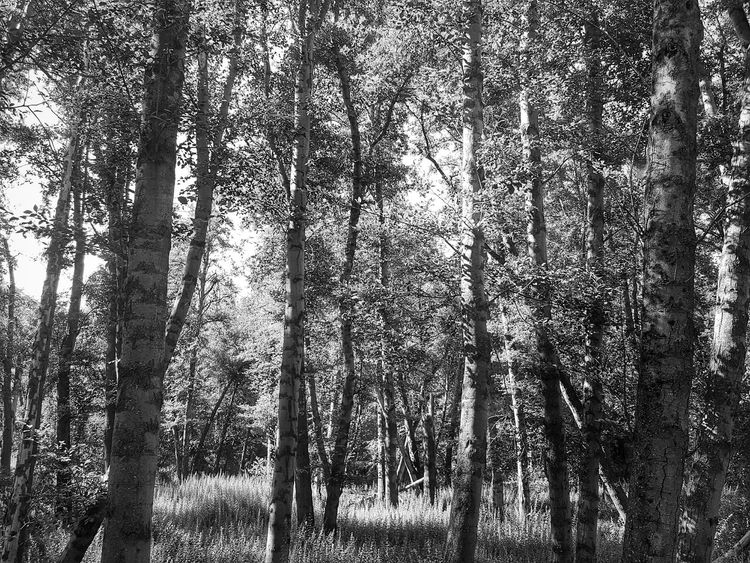 A Black & White Perspective Of The Wilderness Black & White Nature Outdoors Wilderness Forest Trees Grasslands Fresh On Eyeem  Beauty In Nature Perspective From My Point Of View Eyeemphotography Abundance Eye4photography  EyeEm ForTheLoveOfPhotography Black And White Photography Into The Woods Lost In The Wild