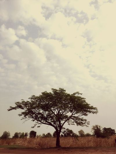 Sky Plant Tree Cloud - Sky Nature Beauty In Nature Growth Day Silhouette No People Outdoors Tranquility Low Angle View Field Environment Landscape Scenics - Nature Branch Tranquil Scene Single Tree