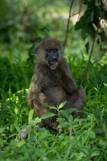 Nature Tanzania Travel Africa Animal Animal Wildlife Animals In The Wild Baboon Day Green Color Land Looking At Camera Mammal Nature No People Olive Baboon One Animal Outdoors Plant Portrait Primate Safari Sitting Vertebrate Wildlife