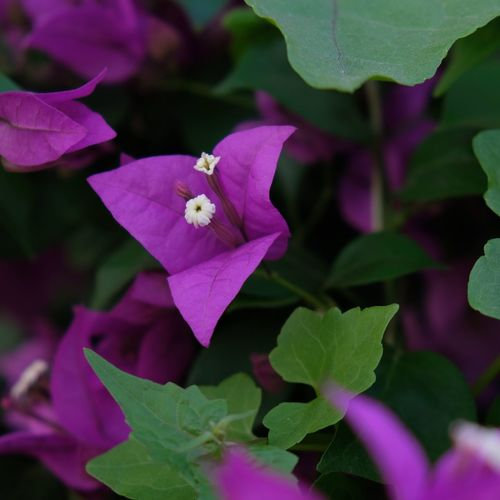 Beauty in Purple Flower Flowering Plant Petal Plant Vulnerability  Fragility Beauty In Nature Plant Part Purple No People Growth Freshness