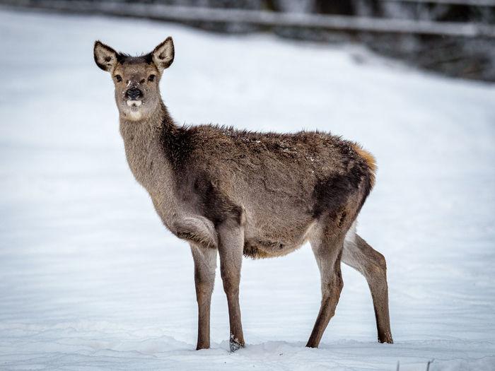 Animal Themes Deer Deer In Winter Doe One Animal Reh Roe Deer Standing Zoology