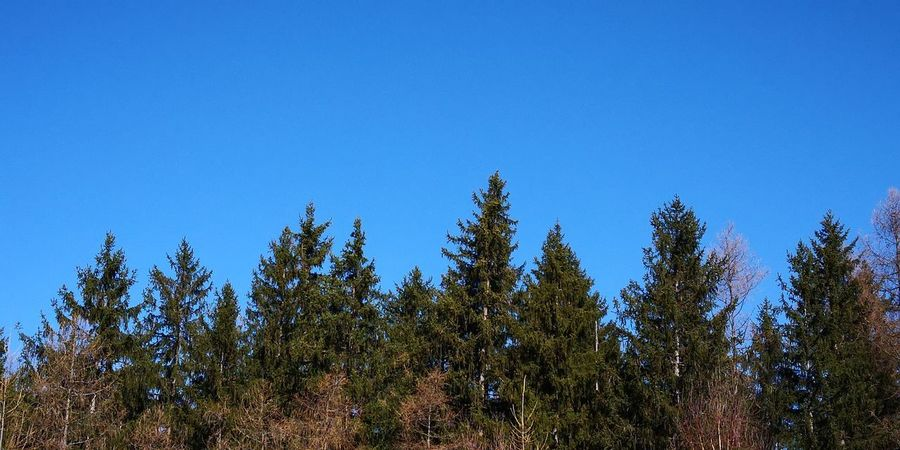 Bluetooth skys Tree Forest Clear Sky Blue Pine Tree Pinaceae Sky