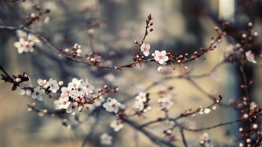 Close up of crabapple flower begonia flower blooming springtime outdoor nature