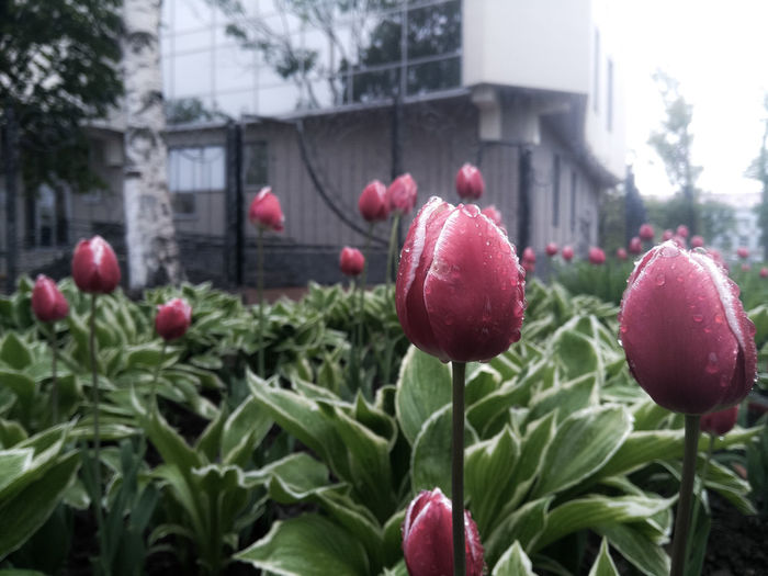 Tulips🌷 Tulips Sakhalin Flower Growth Nature Plant Red Freshness Fragility Beauty In Nature No People Outdoors Blooming Day Poppy Flower Head Close-up Rainy Days Rainy Adapted To The City EyeEmNewHere Welcome To Black The Street Photographer - 2017 EyeEm Awards The Great Outdoors - 2017 EyeEm Awards Sommergefühle Perspectives On Nature