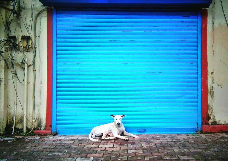 Stray dog lying on sidewalk against blue shutter