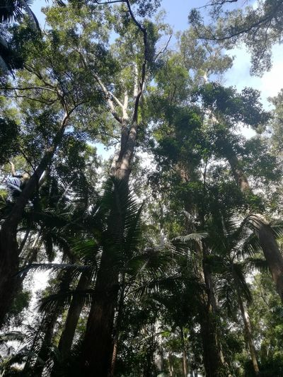 Australia Australian Outback Fraser Island Australia Beauty In Nature Day Forest Fraser Island Growth Low Angle View Nature No People Outdoors Scenics Sky Tranquil Scene Tranquility Tree Tree Trunk