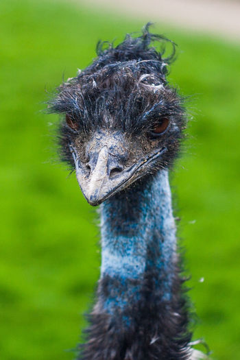Animal Head  Bad Make Up Beauty In Nature Bird Close-up Emu Focus On Foreground Looking At Camera Nature No People One Animal Portrait