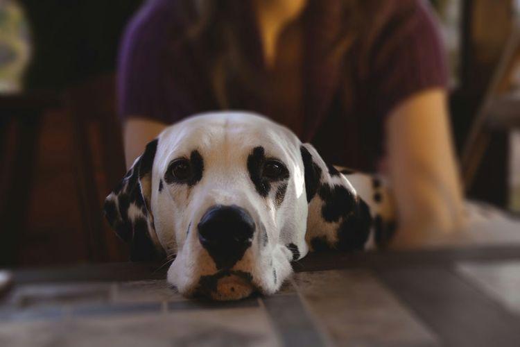 Dogoftheday Dog Life Dog Lover Dogslife Doglover Dalmation Dog Dogs Dog Love Dalmations