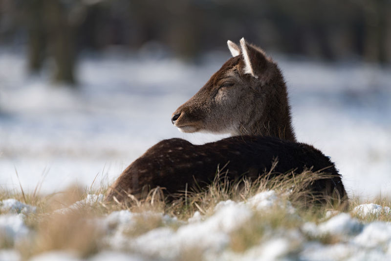 Deer relaxing on land during winter