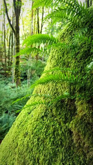 Temperate Rainforest The Migrating Moose Washington State Pacific Northwest  State Park  Fern Moss Tree Water Forest Lush Foliage Grass Landscape Green Color Lush Dense Greenery Green Countryside Vegetation Foliage Woods