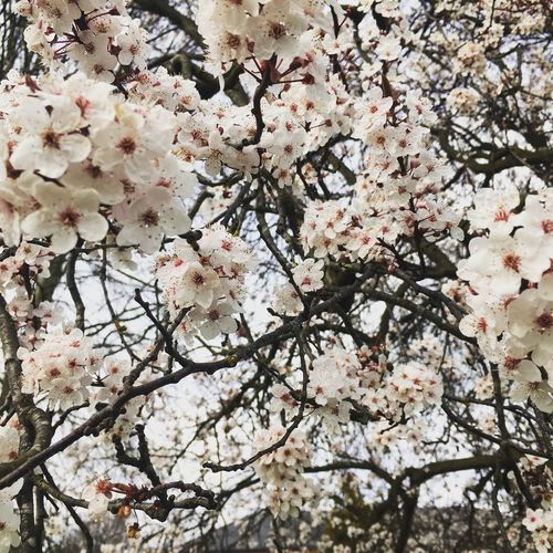 Tree Blossom Nature Growth Flower White Color Branch Springtime Freshness Beauty In Nature Backgrounds Close-up Fragility No People Full Frame Low Angle View Cherry Tree Twig Outdoors Cherry Blossom IPhone IPhoneography Iphonephotography