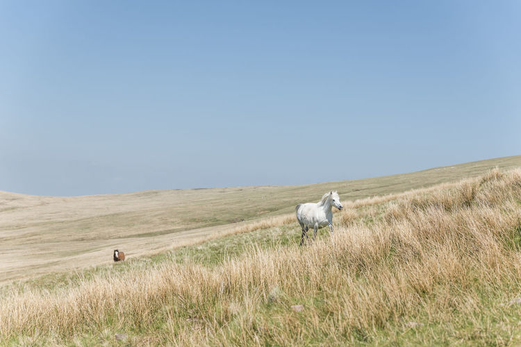 Pregnant white horse running in the wilderness of brecon beacons, wales, uk
