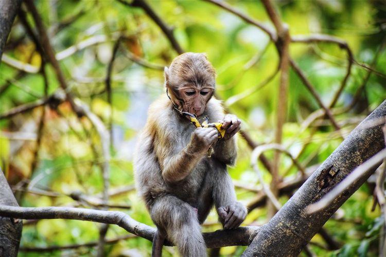 Monkey Holding Banana Peel While Sitting On Bare Tree