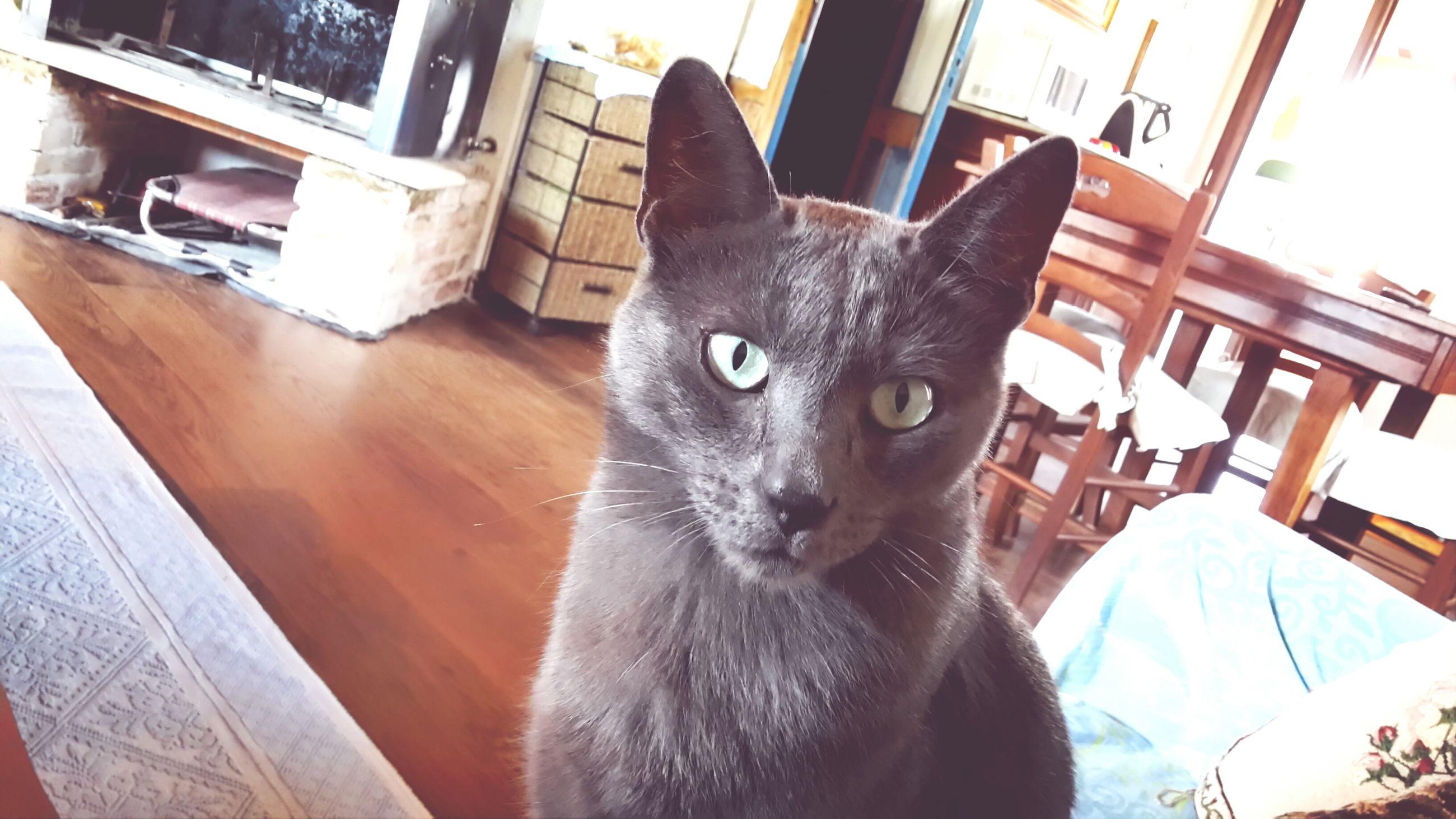 domestic cat, cat, pets, one animal, domestic animals, animal themes, feline, mammal, whisker, portrait, looking at camera, indoors, close-up, sitting, alertness, animal head, staring, home interior, animal eye