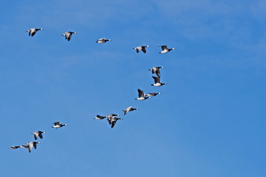 Barnacle goose in flight Branta Leucopsis Animal Themes Animal Wildlife Animals In The Wild Barnacle Goos Beauty In Nature Bird Blue Clear Sky Day Flock Of Birds Flying Large Group Of Animals Mid-air Nature No People Outdoors Sky Spread Wings Togetherness