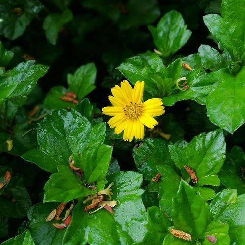 A lone sunflower Flower Leaf Green Color Growth Plant Fragility Outdoors Nature Petal Flower Head Day Yellow Freshness Close-up Sunlight No People Beauty In Nature Plant Part