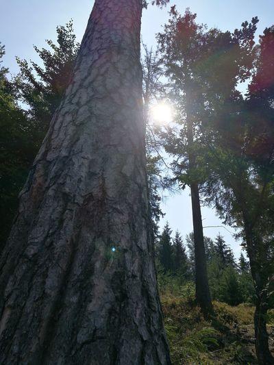 Tree Tree Area Branch Forest Tree Trunk Sunlight Sun Lens Flare Sky