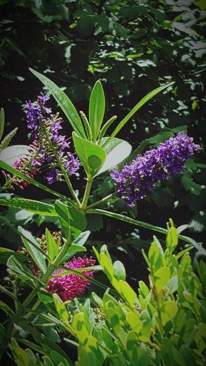 Purple Plant Flower Outdoors No People Freshness Green Color Amateurshot Byondascaptures 2017