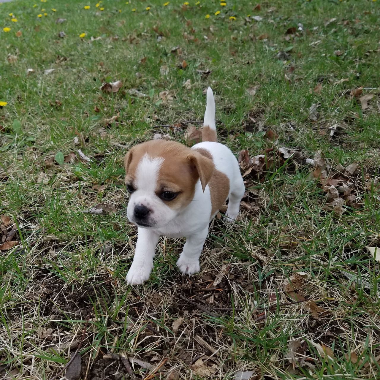 dog, grass, one animal, mammal, pets, domestic animals, animal themes, puppy, outdoors, no people, day, nature