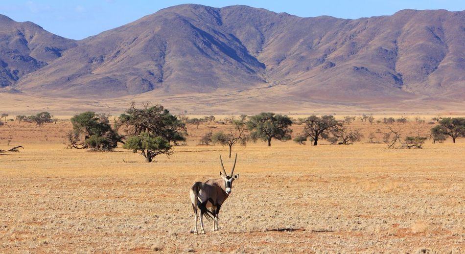 Oryx on field against mountains