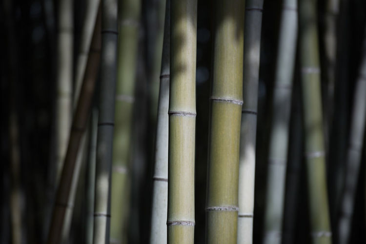 Bamboo - Plant Bamboo Bamboo Grove No People Plant Growth Focus On Foreground Green Color Close-up Tree Nature Day Beauty In Nature Forest Outdoors Bamboo - Material Tranquility Pattern Land Full Frame