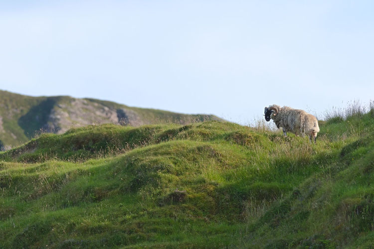 View of a sheep on a field