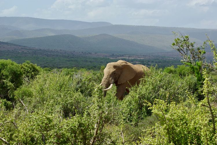 African Elephant Animal Themes Animal Trunk Beauty In Nature Day Domestic Animals Elephant Field Forest Landscape Mammal Mountain Nature No People One Animal Outdoors Plant Scenics Sky Tree Tusk