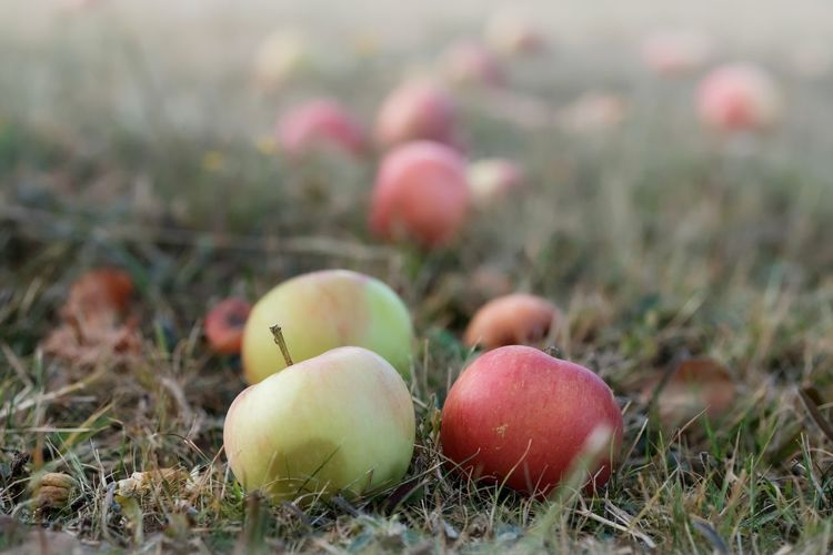 Apfelernte Agriculture Apple - Fruit Close-up Day Field Food Food And Drink Freshness Fruit Grass Group Of Objects Growth Healthy Eating Land Nature No People Outdoors Plant Ripe Selective Focus Wellbeing äpfel Am Baum Äpfel In Wiese