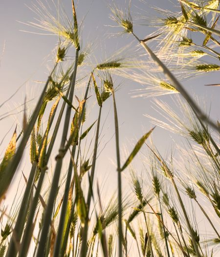 Low angle view of timothy grass against sky