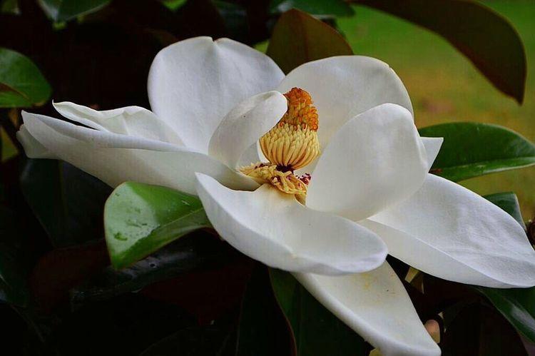 Magnolia Magnolia Tree Magnolia_Blossom Magnolia Flower Magnolia Blossoms Magnolias MagnoliaTree