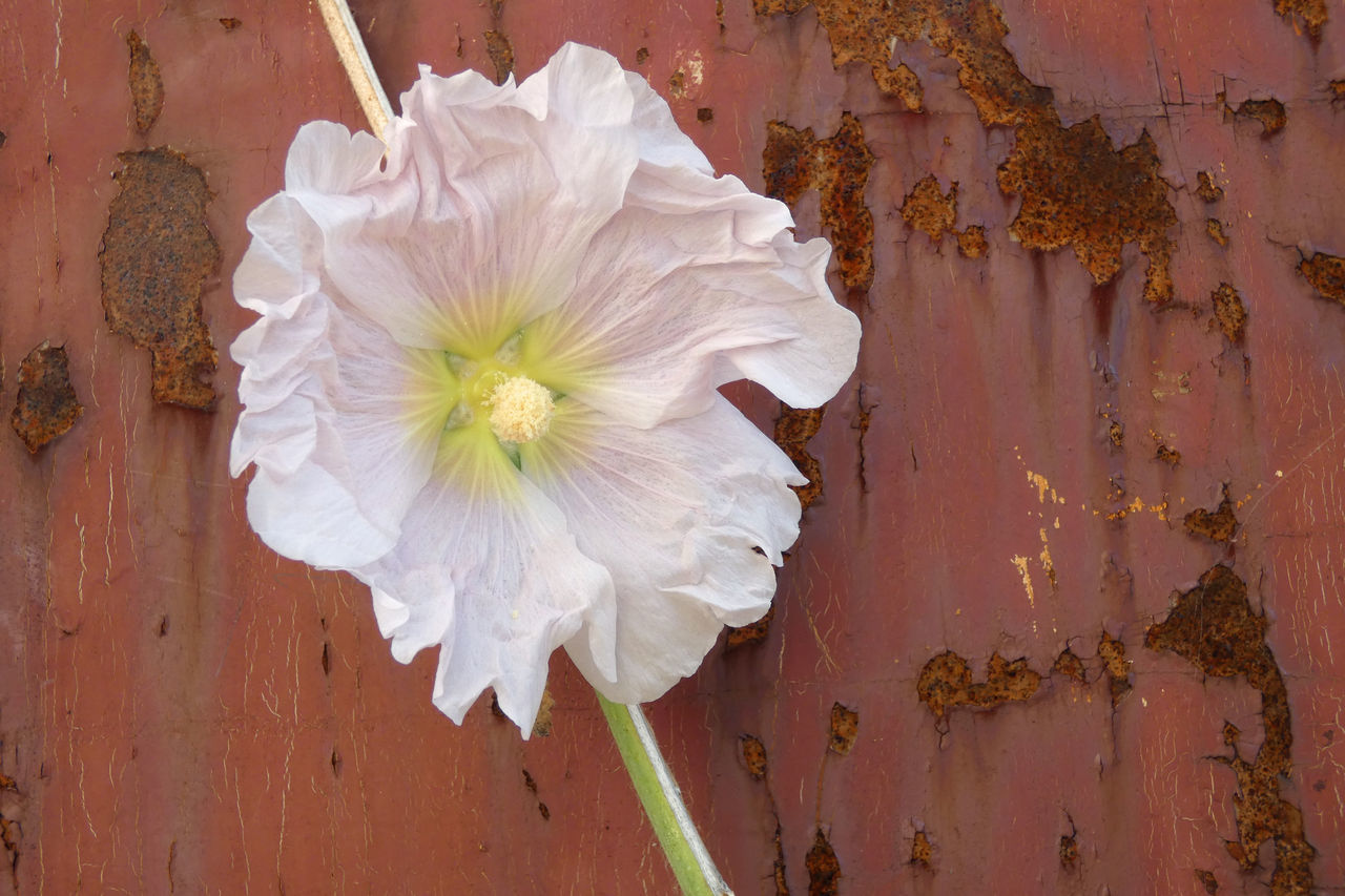 CLOSE-UP OF WHITE ROSE ON WOOD