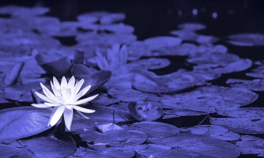Water Lily on