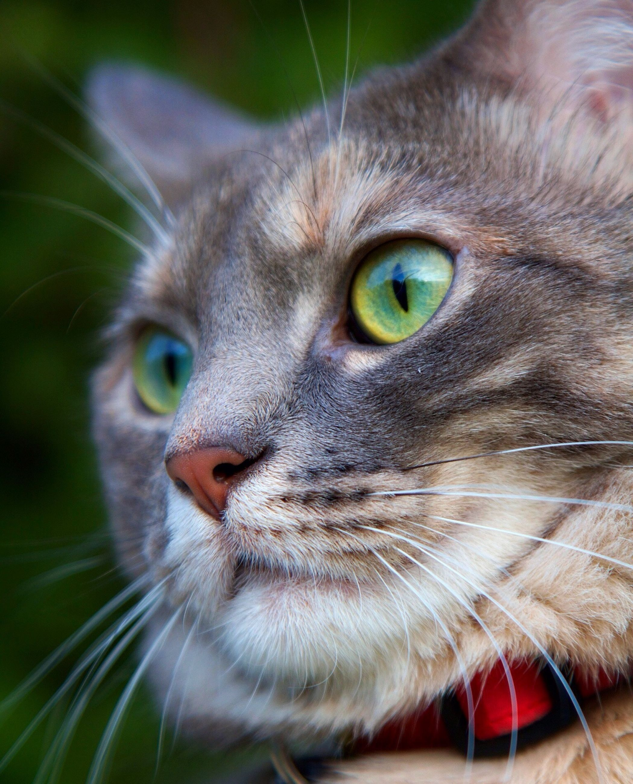 one animal, animal themes, domestic cat, whisker, cat, animal head, close-up, portrait, pets, animal eye, feline, mammal, looking at camera, domestic animals, staring, animal body part, focus on foreground, alertness, front view