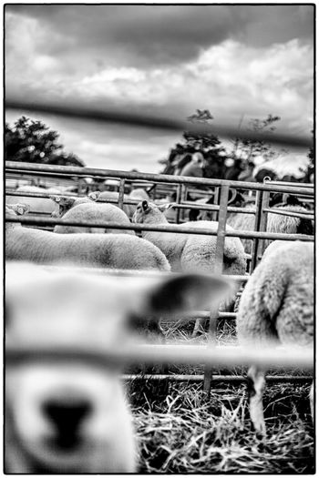 Agricultural show in Swinford, Ireland. August 2017 Ireland Agriculture Sheep Sky Cloud - Sky No People Animal Themes Day Outdoors Domestic Animals Mammal