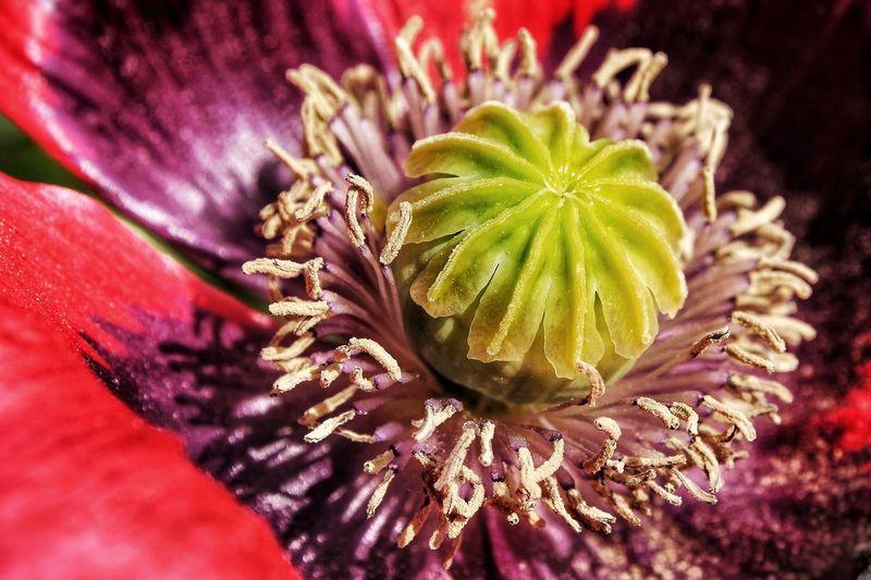 Poppy Mohnblume