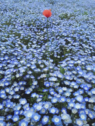 Be my poppy in a field of nemophila. Flower Nature Beauty In Nature Be Mine Travel Destination HitachiSeaSidePark When In Japan EyeEmNewHere Iphonephotography