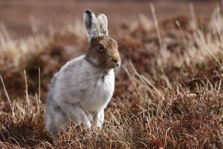 Cairngorms National Park Rabbit 🐇 Scotland 💕 Sitting Pretty Wildlife & Nature Wildlife Photography Animal Themes Animal Wildlife Animals In The Wild Close-up Day Grass Heather Flower Mountain Hare Nature Natutre No People One Animal Outdoors Outdoors❤ Wildlife_perfection Wildlifephotography