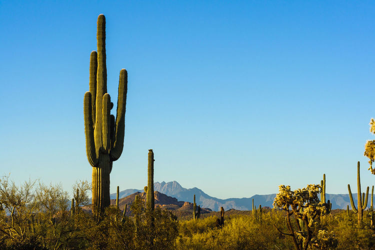 Low angle view of cactus in desert against clear blue sky