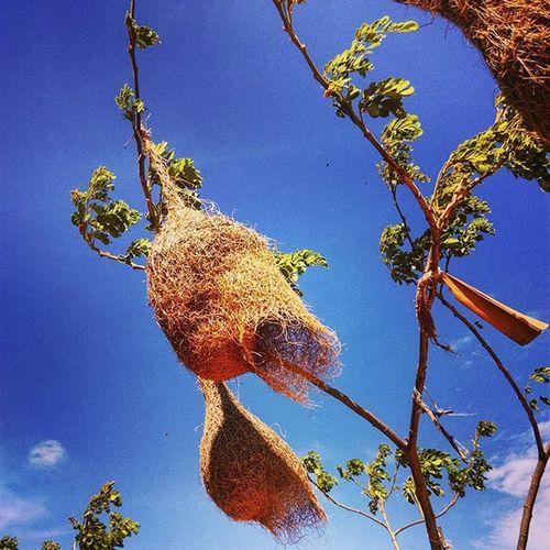 စာဘူးေတာင္းငွက္သိုက္ Birdnest Birdgang Nest Intothewild