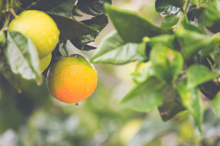 Fruit Food Food And Drink Healthy Eating Citrus Fruit Leaf Freshness Plant Part Plant Growth Fruit Tree Tree Close-up Focus On Foreground Wellbeing Nature Green Color No People Day Orange Color Outdoors Orange Ripe