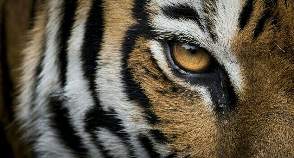 Sumatran tiger close up eye. Sumatran Tiger Feline Big Cats Predators Carnivores Endemic Paint The Town Yellow