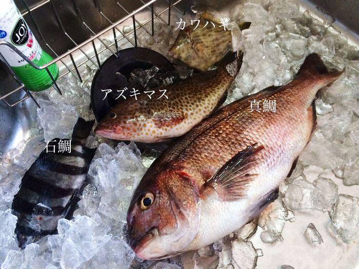 釣り上げた魚さん 真鯛 カワハギ アズキマス 石鯛