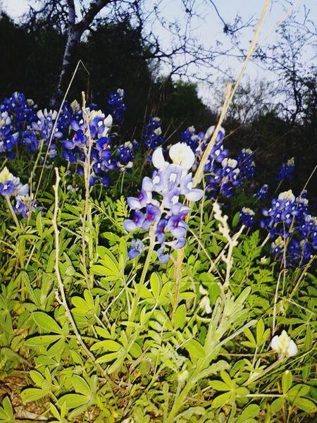 Texas is beautiful Bluebonnets Texas Texas Bluebonnet Flowers Park